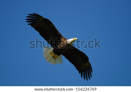 Bald eagle flying with blue sky background. - stock photo