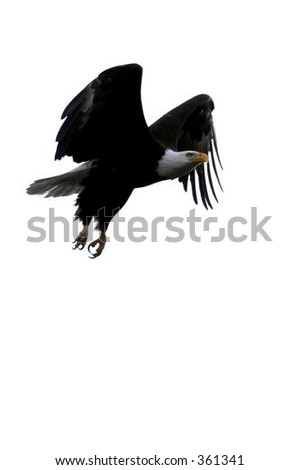 Bald Eagle Flying with Wings Outstretched Against A White Sky (background) in Northern Wisconsin - stock photo