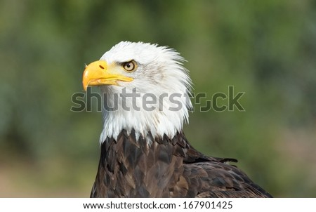 Bald Eagle (Haliaeetus leucocephalus) - stock photo