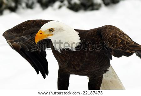 Bald Eagle (Haliaeetus leucocephalus) - stock photo