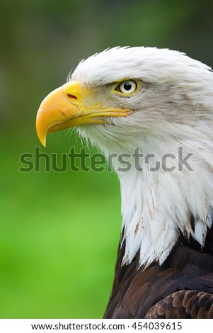 Bald Eagle (Haliaeetus leucocephalus) detail of the head of this predator - stock photo