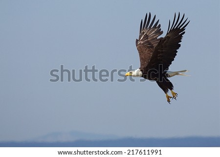 Bald Eagle, Haliaeetus leucocephalus in flight with legs extended, over the Pacific Ocean, off the coast of the San Juan Islands of Washington State near the Canadian Canada border - stock photo