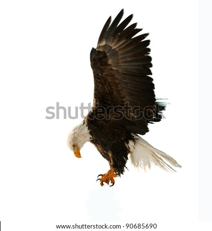 BALD EAGLE ( Haliaeetus leucocephalus )  isolated on the  white. Against a white background - stock photo