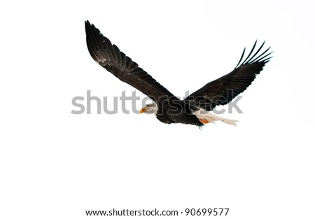 BALD EAGLE ( Haliaeetus leucocephalus )  isolated on the  white. Against a white background