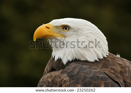 Bald Eagle (Haliaeetus leucocephalus) portrait - stock photo