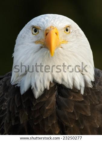 Bald Eagle (Haliaeetus leucocephalus) portrait - stock photo