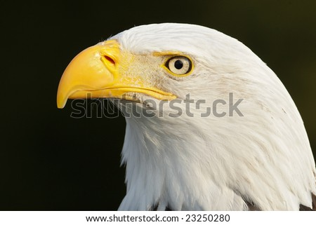 Bald Eagle (Haliaeetus leucocephalus) potrait - stock photo