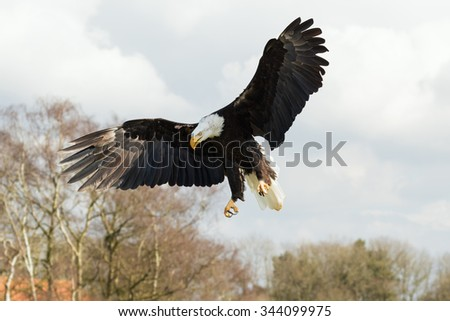 Bald Eagle hanging in the air. An impressive bald eagle puts on the brakes as it prepares to land. - stock photo