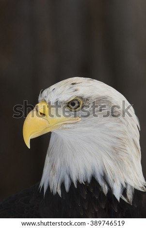 Bald eagle head profile