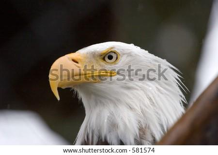 Bald Eagle in Alaska - stock photo