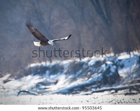 Bald eagle in flight - stock photo