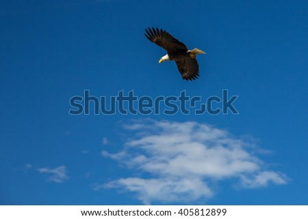 Bald eagle in flight against a background and white cloud which leads the eye to the eagle.  The eyes and beak are sharp while the wings show some movement. Atlin, BC  - stock photo