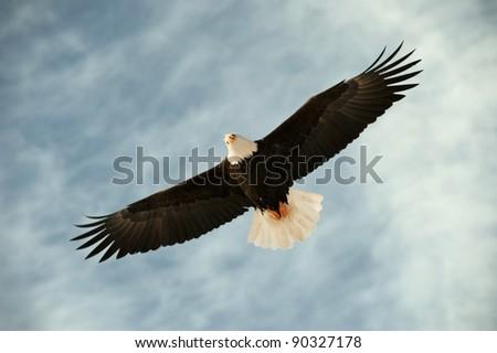 Bald eagle in flight awaiting fish feeding. USA, Alaska, Chilkat Bald Eagle Preserve, Bald eagle (Haliaeetus leucocephalus) - stock photo