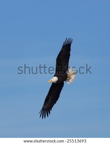 Bald eagle in flight looking for food - stock photo