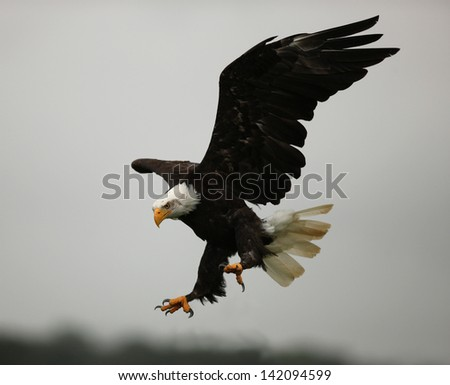 Bald Eagle in flight showing his talons - stock photo