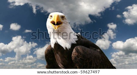 Bald eagle in front of clouds - stock photo