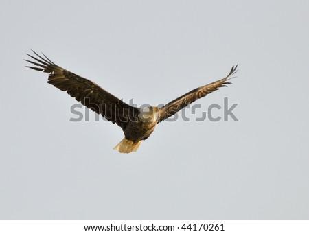 bald eagle in morning sun - stock photo