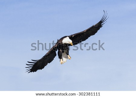 Bald eagle in the air. A majestic airborne bald eagle set against a clear blue sky. - stock photo