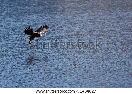 Bald eagle in the air fishing in coeur d alene lake in Idaho