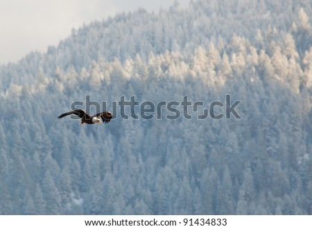 Bald eagle in the air flying over the lake in coeur d alene Idaho - stock photo