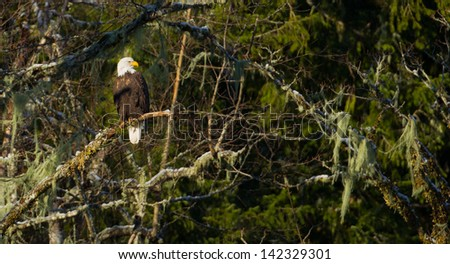 Bald Eagle in Tree - stock photo