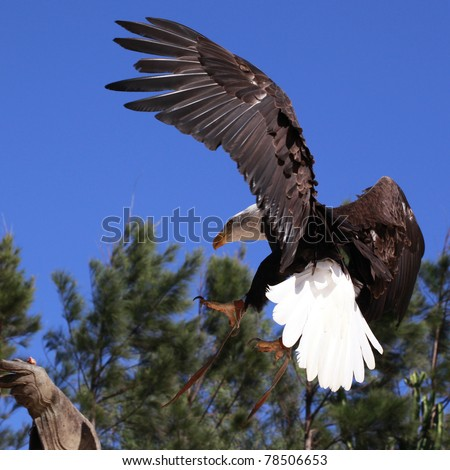 Bald Eagle is about to land on a man's hand - stock photo
