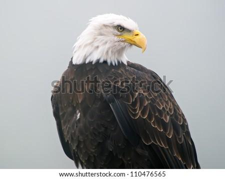 bald eagle isolated against misty background - stock photo