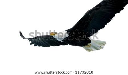 Bald Eagle isolated on white - stock photo