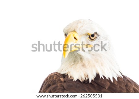 Bald eagle isolated on white background. - stock photo