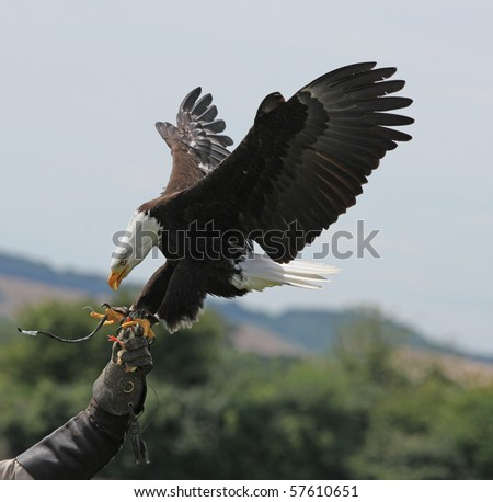 Bald Eagle landing on falconers glove - stock photo