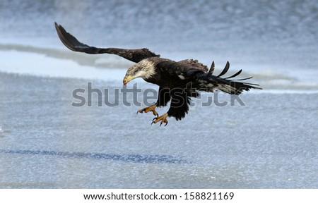 bald eagle landing on frozen lake - stock photo