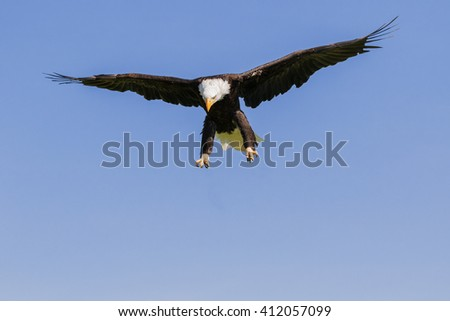 Bald Eagle looking down. An impressive bald eagle scans the ground as it seeks a target. - stock photo