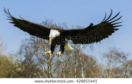 Bald Eagle looking for the main chance. A bald eagle has its keen eyes locked on an opportunity for lunch. - stock photo