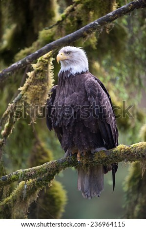 Bald eagle looking to left of frame as he sits on a tree branch in the rainforest - stock photo