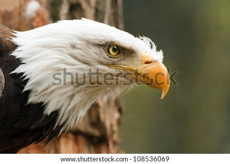 bald eagle observes - stock photo