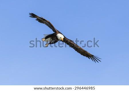 Bald Eagle on a mission. A majestic bald eagle looks purposeful as it dashes through a blue sky. - stock photo