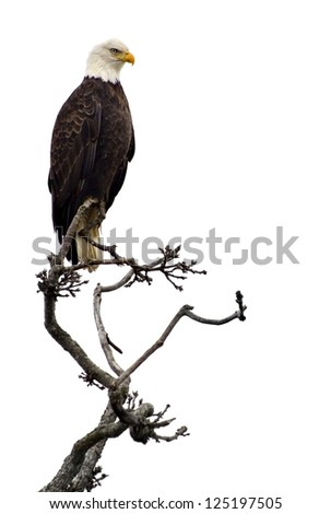 Bald eagle on a tree branch, isolated on white. - stock photo