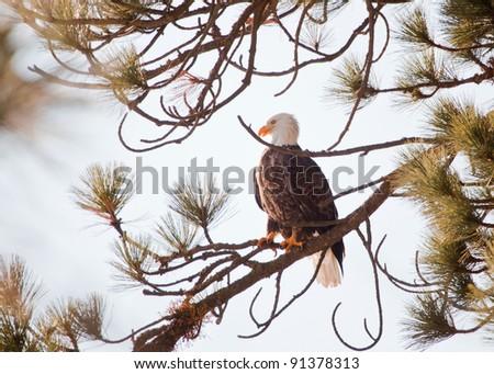 Bald eagle on a tree in coeur d alene idaho, mid december - stock photo