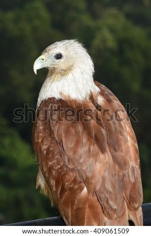 Bald eagle on black. birds of prey. Eagle eyes. Predator and scavenger bird. - stock photo