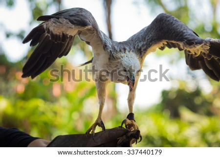 Bald eagle perched on a hand with spread wings - stock photo