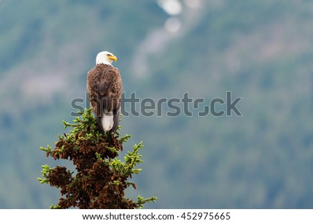 Bald Eagle perched on a tree top Jasper National Park Alberta Canada - stock photo