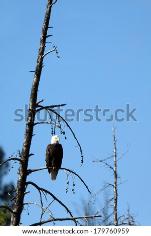 Bald Eagle perched over the Salmon River in Idaho - stock photo