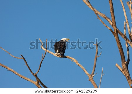 Bald Eagle perching on leafless tree - stock photo