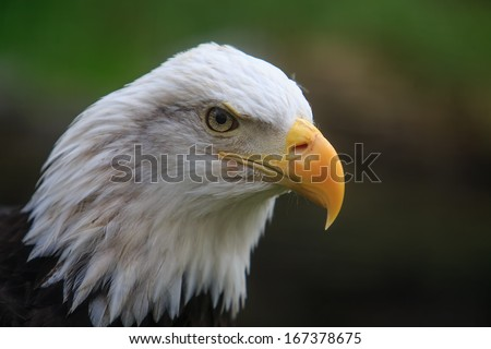 bald eagle portrait in detail