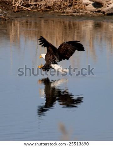 Bald eagle preparing to grab a fish at Farmington Bay, Utah - stock photo