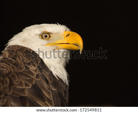 Bald eagle profile with black background and extra empty space