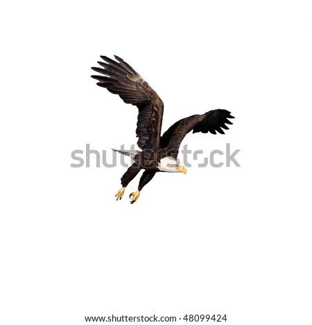 Bald Eagle ready to strike isolated on white - stock photo