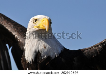 Bald eagle ready to take off into the blue sky of Colorado in winter - stock photo
