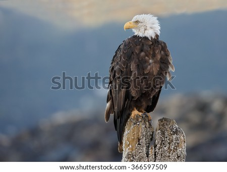 Bald eagle resting on a pole in morning light at Homer Alaska - stock photo