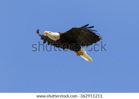 Bald eagle rising. An impressive bald eagle climbs into a clear blue sky. - stock photo